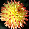 Christiane Schulze Art And Photography - Dahlia Delight