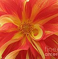Photographic Art and Design by Dora Sofia Caputo - Dahlia unfurling in...