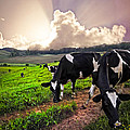 Debra and Dave Vanderlaan - Dairy Cows at Sunset