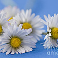 Jan Bickerton - Daisies on Blue