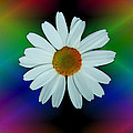 ImagesAsArt Photos And Graphics - Daisy Bloom In Neon...