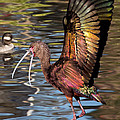 Kathleen Bishop - Dancing Ibis