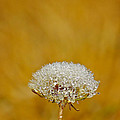 David Cutts - Dandelion and Dew