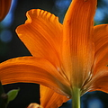 Thomas Woolworth - Daylily Early Morning...