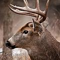 World Wildlife Photography - Deer Pictures 491