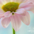 Dawna  Moore Photography - Delicate Daisy