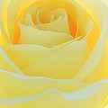 Sabrina L Ryan - Delicate Yellow Rose