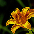 Dave Bosse - Detailed Lily