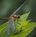 Patti Deters - Dew Drop Dragonfly I