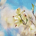 Lois Bryan - Dogwood Against Blue Sky