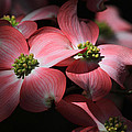Donna Kennedy - Dogwood Blossoms