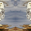 Inspired Nature Photography By Shelley Myke - Double Vision Snowy Owls...