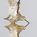 Bryan Keil - Dowitcher wing stretch