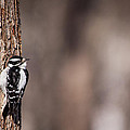 Karol  Livote - Downy Woodpecker