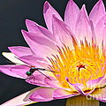 Byron Varvarigos - Dragonfly and Waterlily...