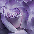 Jennie Marie Schell - Dramatic Purple Rose...