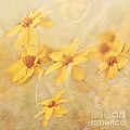 Pam  Holdsworth - Dreamy Yellow Coreopsis