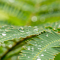 John Ray - Droplets on a Fern