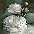 Jennie Marie Schell - Dusty Green Roses...