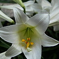 Christiane Schulze Art And Photography - Easter Lily