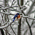 Bruce Patrick Smith - Eastern Bluebird