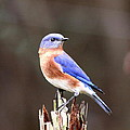 Travis Truelove - Eastern Bluebird - The...