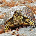 Cynthia Guinn - Eastern Box Turtle