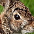 Debbie Oppermann - Eastern Cottontail