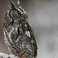 Inspired Nature Photography By Shelley Myke - Eastern Screech Owl in...