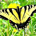 Candice Trimble - Eastern Tiger Swallowtail