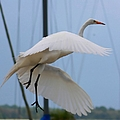Debra Forand - Egret In Flight