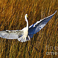 Kathy Baccari - Egret Landing In The...