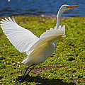 Mr Bennett Kent - Egret taking off