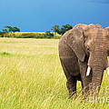 Charuhas Images - Elephant in Masai Mara...