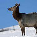 Inspired Nature Photography By Shelley Myke - Elk Homecoming
