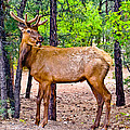 Bob and Nadine Johnston - Elk in Canyon National...