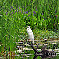 Al Powell Photography USA - Enticing Egret