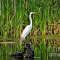 Al Powell Photography USA - Exquisite Egret