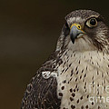 Inspired Nature Photography By Shelley Myke - Falcon Watch