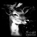 Maggie Vlazny - Deer Portrait Black and...