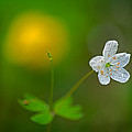 Robert Charity - False Rue Anemone