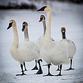 Chris Hurst - Family of Trumpeter Swans