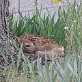 Phil Welsher - Fawn Sunning by a Tree