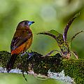 Craig Lapsley - Female Cherries Tanager...