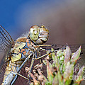 Jonathan Hughes - Female Common Darter...