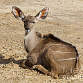 Tessa Fairey - Female Greater Kudu