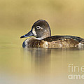 Bryan Keil - Female Ring necked duck