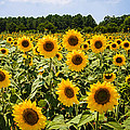Penny Lisowski - Field of Sunflowers