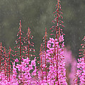 Chris Lindner - Fireweed In The Rain
