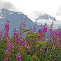 Jim Cook - Fireweed